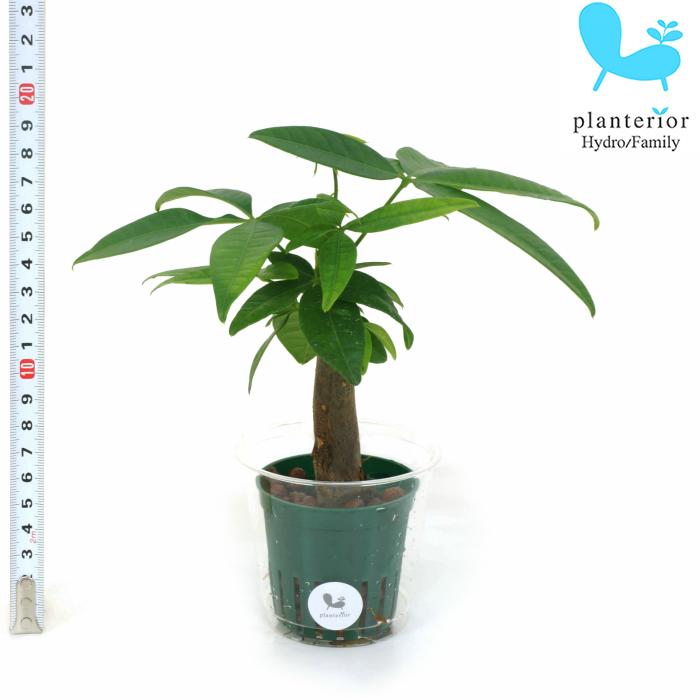 観葉植物 ハイドロカルチャー 苗 パキラ Mサイズ 6パイ 2寸
