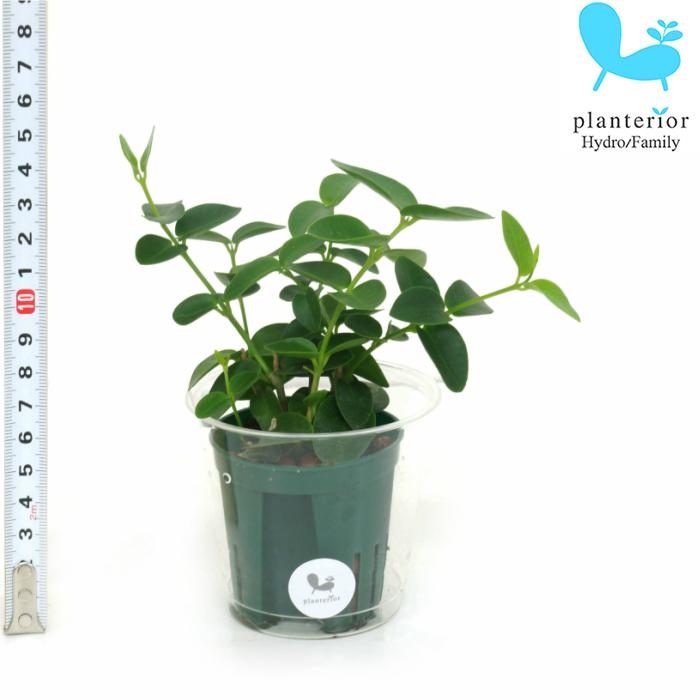 観葉植物 ハイドロカルチャー 苗 ホヤ クミギアーナ Mサイズ 6パイ 2寸