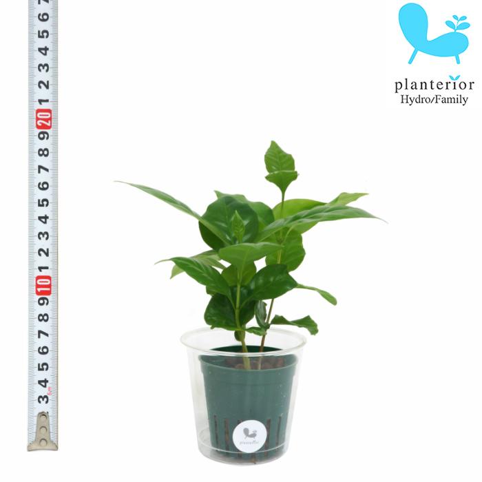 観葉植物 日本正規品 新作送料無料 ハイドロカルチャー 苗 コーヒーの木 6パイ Mサイズ 2寸