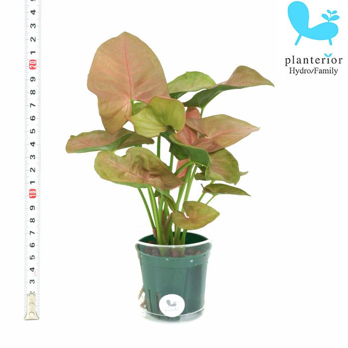 日本産 観葉植物 ハイドロカルチャー 苗 シンゴニウム 2寸 Mサイズ 6パイ 送料無料でお届けします ピンク