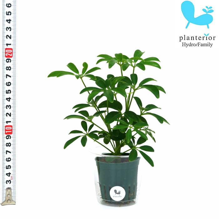 観葉植物 ハイドロカルチャー 苗 シェフレラ 2寸 Mサイズ 毎日がバーゲンセール コンパクタ 6パイ ブランド品
