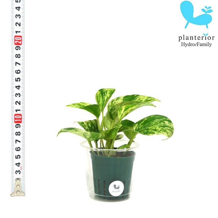 観葉植物 ハイドロカルチャー 苗 ポトス 2寸 6パイ 数量限定 マーブル 新着セール Mサイズ
