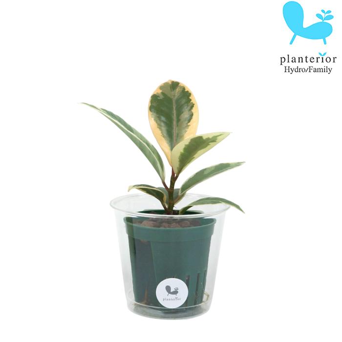 観葉植物 ハイドロカルチャー 苗 ゴムノキ(ティネケ) Mサイズ 6パイ 2寸