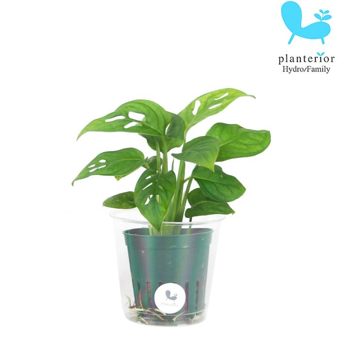 観葉植物 ハイドロカルチャー 苗 マドカズラ Mサイズ 6パイ 2寸