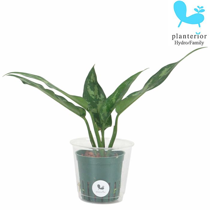 観葉植物 ハイドロカルチャー 苗 アグラオネマ マリア Mサイズ 店 6パイ 超激安特価 2寸
