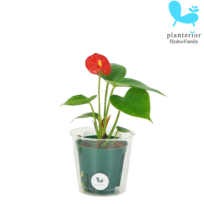観葉植物 ハイドロカルチャー 苗 1着でも送料無料 アンスリウム 6パイ Mサイズ 2寸 大幅値下げランキング
