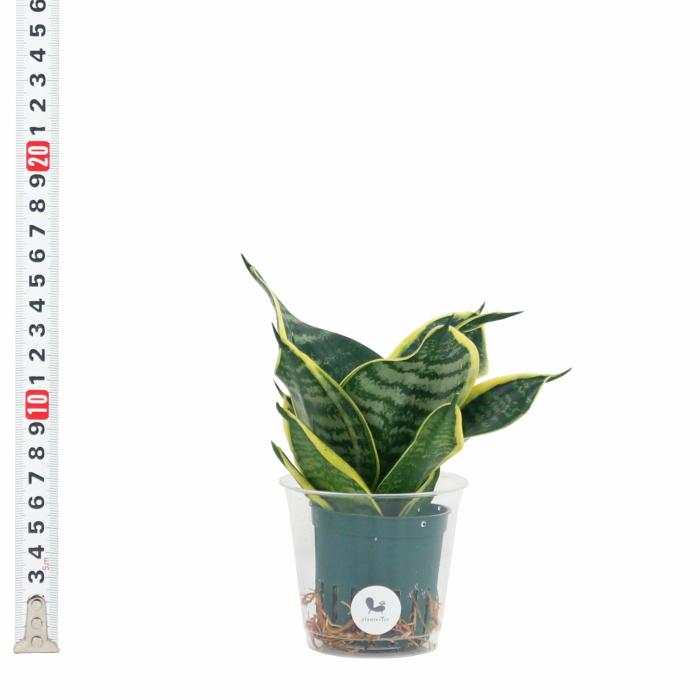観葉植物 ハイドロカルチャー 売店 新作 苗 サンスベリア グリーングランデ 6パイ Mサイズ 2寸