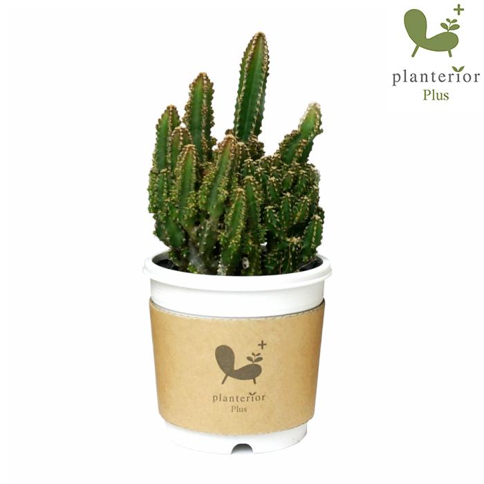 セレウス 2寸 サボテン 観葉植物 多肉 年間定番 売買