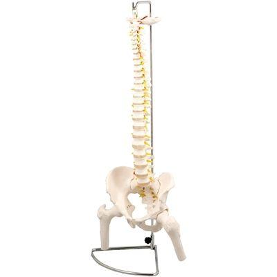 アーテック 脊柱模型 大腿骨付 ATC-9710【納期目安:納期未定】
