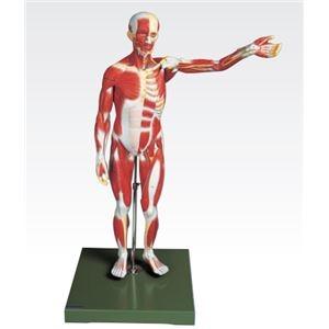 その他 人体筋肉模型 【3分解】 右腕・左腕とりはずし可 J-111-3【代引不可】 ds-1877916