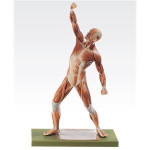 その他 成人男性筋肉模型(人体解剖模型) 1体型モデル J-111-4【代引不可】 ds-1877917
