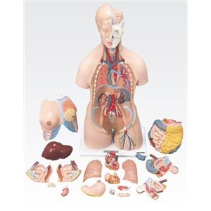 その他 トルソ人体模型/人体解剖模型 【20分解】 J-112-0【代引不可】 ds-1877918