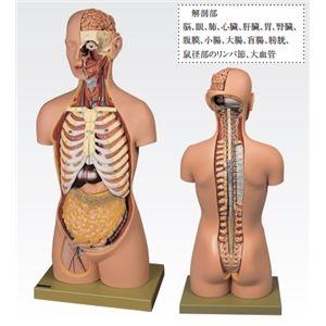 その他 トルソ人体モデル/人体解剖模型 【20分解】 主要臓器とりはずし可 J-113-1【代引不可】 ds-1877920