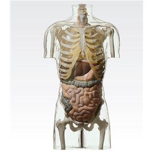 その他 透明トルソ/人体解剖模型 【消化器系人体モデル】 等身大 1体型モデル J-113-4【代引不可】 ds-1877923