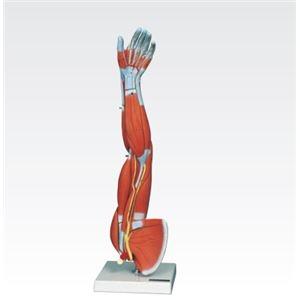 その他 新型・上肢模型/人体解剖模型 【6分解】 J-114-6【代引不可】 ds-1877929