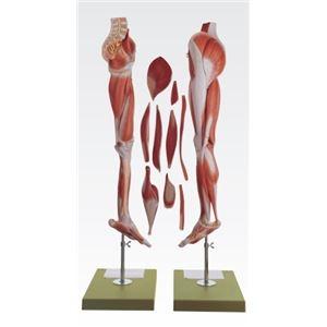 その他 下肢模型/人体解剖模型 【10分解】 等身大 J-114-9【代引不可】 ds-1877932