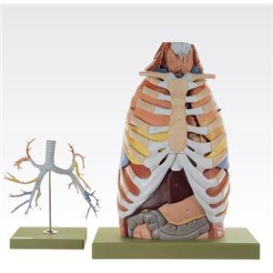 その他 胸部解剖模型/人体解剖模型 【17分解】 等身大 J-125-0【代引不可】 ds-1877943