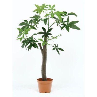 不二貿易 観葉植物 パキラ 朴の木タイプ 13498 FJ-52665
