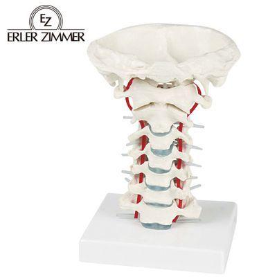 エルラージーマー社 頸椎モデル 4535847005094