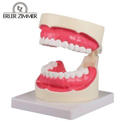 エルラージーマー社 歯磨き・口腔ケア指導模型 規格:1.5倍大 サイズ:W100×D140×H90mm CS-00877154【納期目安:1週間】