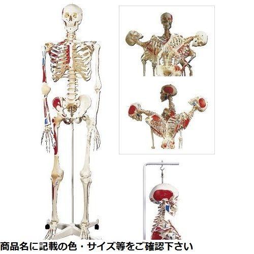 その他 京都科学 骨格モデル(脊柱可動型)吊り下げ仕様 A13/1 (186cm/8.5KG) CMD-00213368