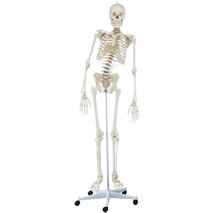 エルラージーマー社 脊椎可動式骨格モデル 3014 CMD-00877159