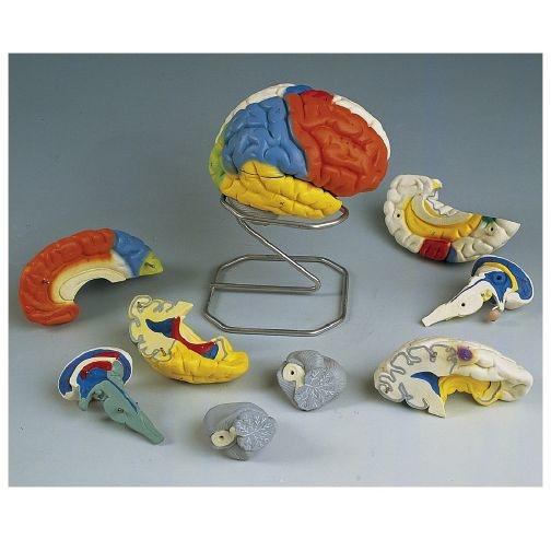 その他 京都科学 脳8分解神経学モデル C22 (14×14×17.5cm) CMD-00213549【納期目安:1週間】