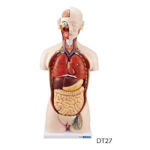 その他 人体解剖模型(トルソー型) DT27 ds-2210843