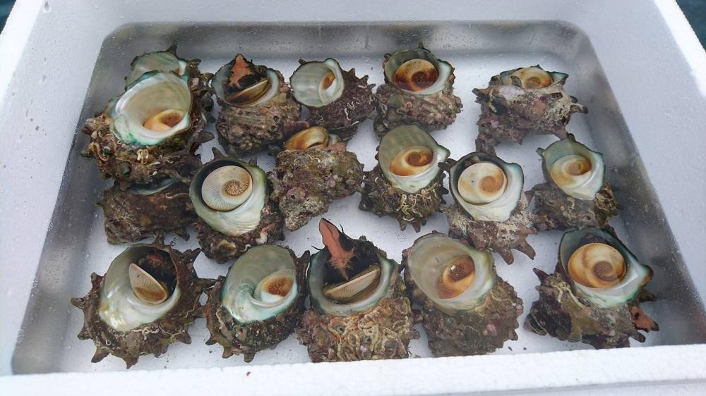 佐渡の海で育った天然の活きサザエを佐渡から直送いたします 佐渡産 天然 活サザエ 新潟 2kg 壺焼き 刺身 活きたまま出荷 約14~20個 5☆大好評 ストアー バーベキュー