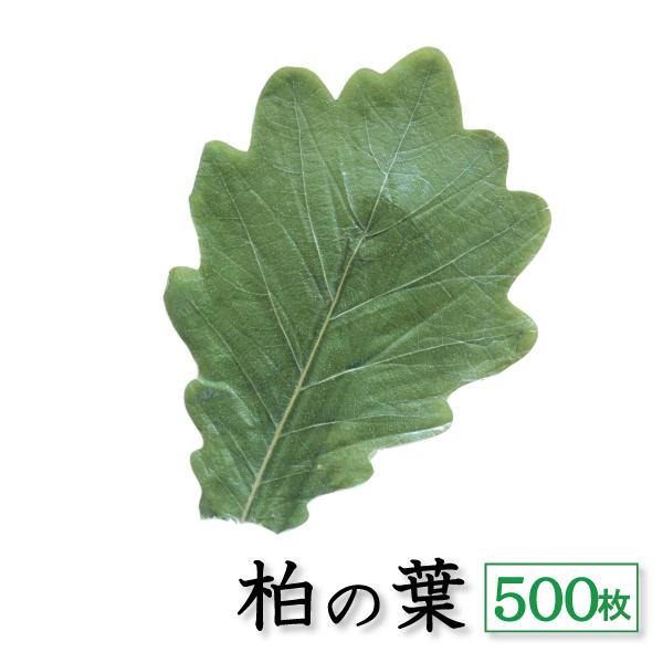 丁寧に選別された美しい柏の葉 柏葉 500枚 天極堂 ご予約品 緑 端午の節句 柏餅 店舗 こどもの日 柏餅の葉 和菓子