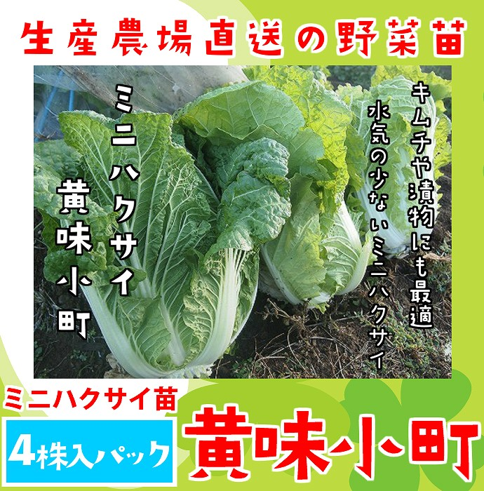 Pack Chinese cabbage leaf greens nursery soil class with four mini-Chinese  cabbage seedling creamy Komachi