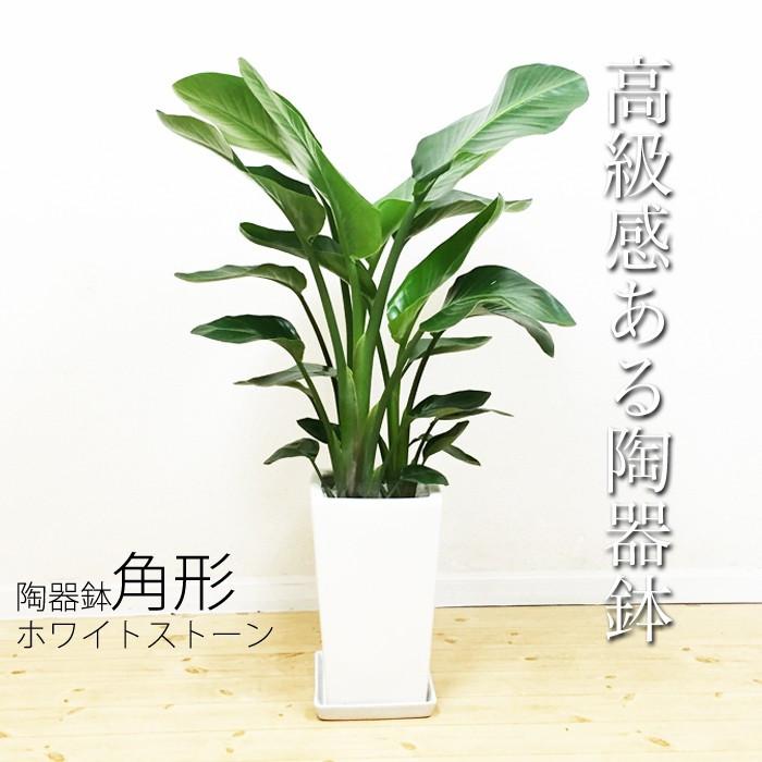 オーガスタ 陶器鉢 角型 送料無料 ストレチア 観葉植物 中型 大型