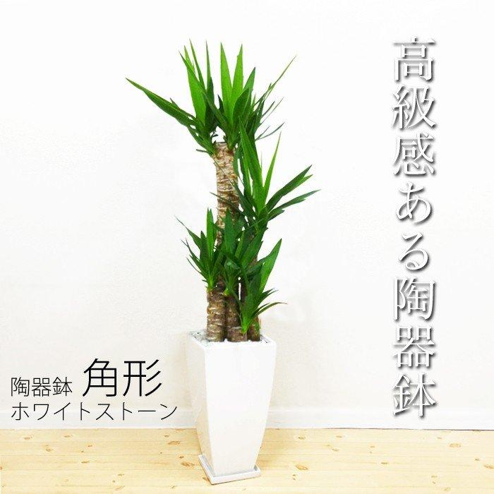 ユッカ 青年の木 ドラセナ 8号 陶器鉢 角型 送料無料 寒さに強い 観葉植物 おしゃれ 中型 大型 インテリア