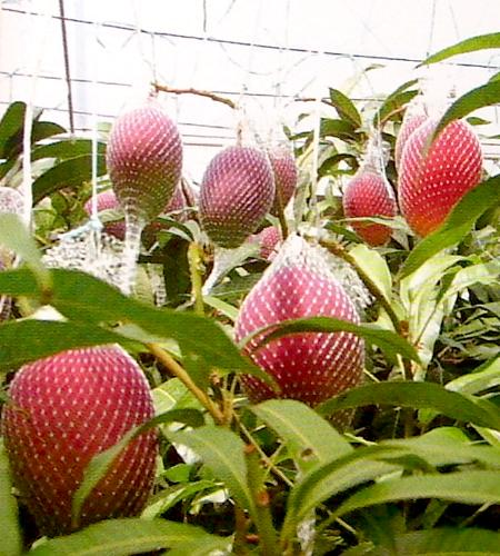 作为作为宫崎生产成熟芒果大球3L尺寸2个装的化妆盒身边的甜的热带水果的女王的☆成熟,好吃正与众不同! 阿普尔前进02P05July14