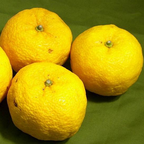 柚子(ユズ) 大玉 8~9個前後入り 高知産お鍋、和食の美味しさを引き立てる柑橘のゆずです【ラッキーシール対応】