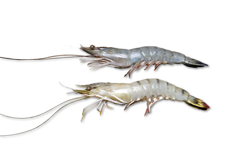 配送員設置送料無料 公式ショップ マダカスカルルージュ10尾 天使の海老10尾食べ比べセット