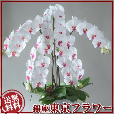 胡蝶蘭3万2千円色選択法人ギフト32000円売れてる銀座の胡蝶蘭