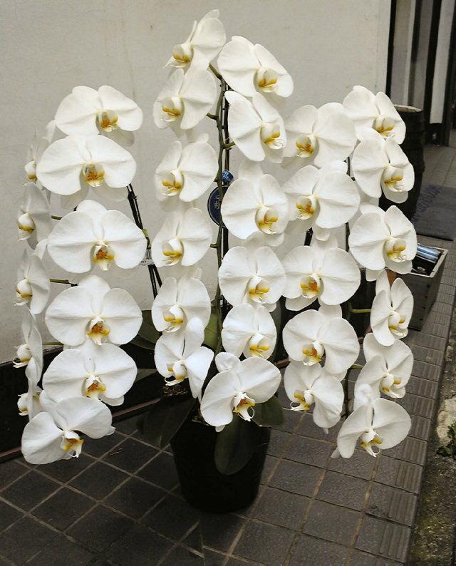 蝴蝶蘭 (白色) 3 提示查森比 25,000 日元 30 輪! 包裝好玩有趣的禮物 _ 禮物 _ 會展中心輸入的 smtb-s