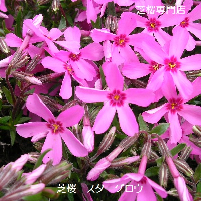 Tomtec flowers or plants phlox and starglow moss often cherry flowers or plants phlox and starglow moss often cherry blossom pink flower mightylinksfo