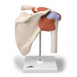 肩関節、機能デラックスモデル A80/1 3B