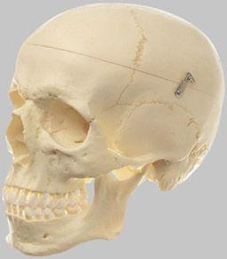 頭蓋骨分解模型(3分解) QS7 ソムソ SOMSO