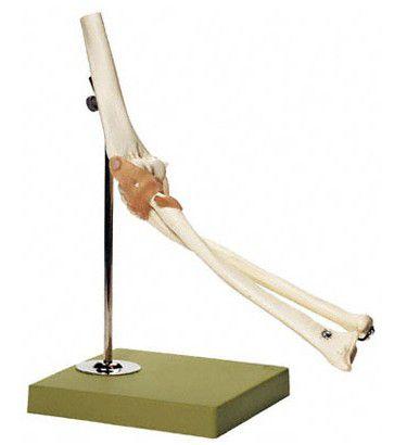 肘関節機能模型 NS52 ソムソ SOMSO