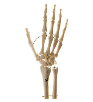 手関節模型(各指骨屈曲自在) QS31/7ST ソムソ SOMSO