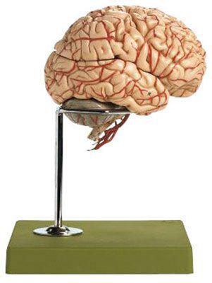 動脈付脳模型 BS23/1 ソムソ SOMSO