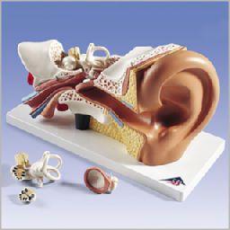 平衡聴覚器、3倍大・4分解モデル、標準型 E10 3B