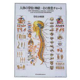 人体の脊椎・神経ーその異常チャート 104×74cm アルミパネル入