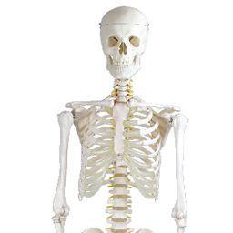 全身骨格模型 標準型 等身大 IK10 トワテック