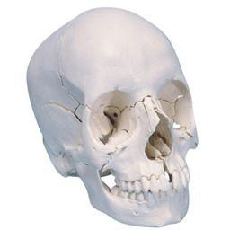 頭蓋骨22分解キット、ナチュラルカラー仕様 A290 3B
