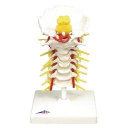 頚椎モデル A72 3B