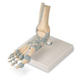 足関節、靭帯付モデル M34 3B